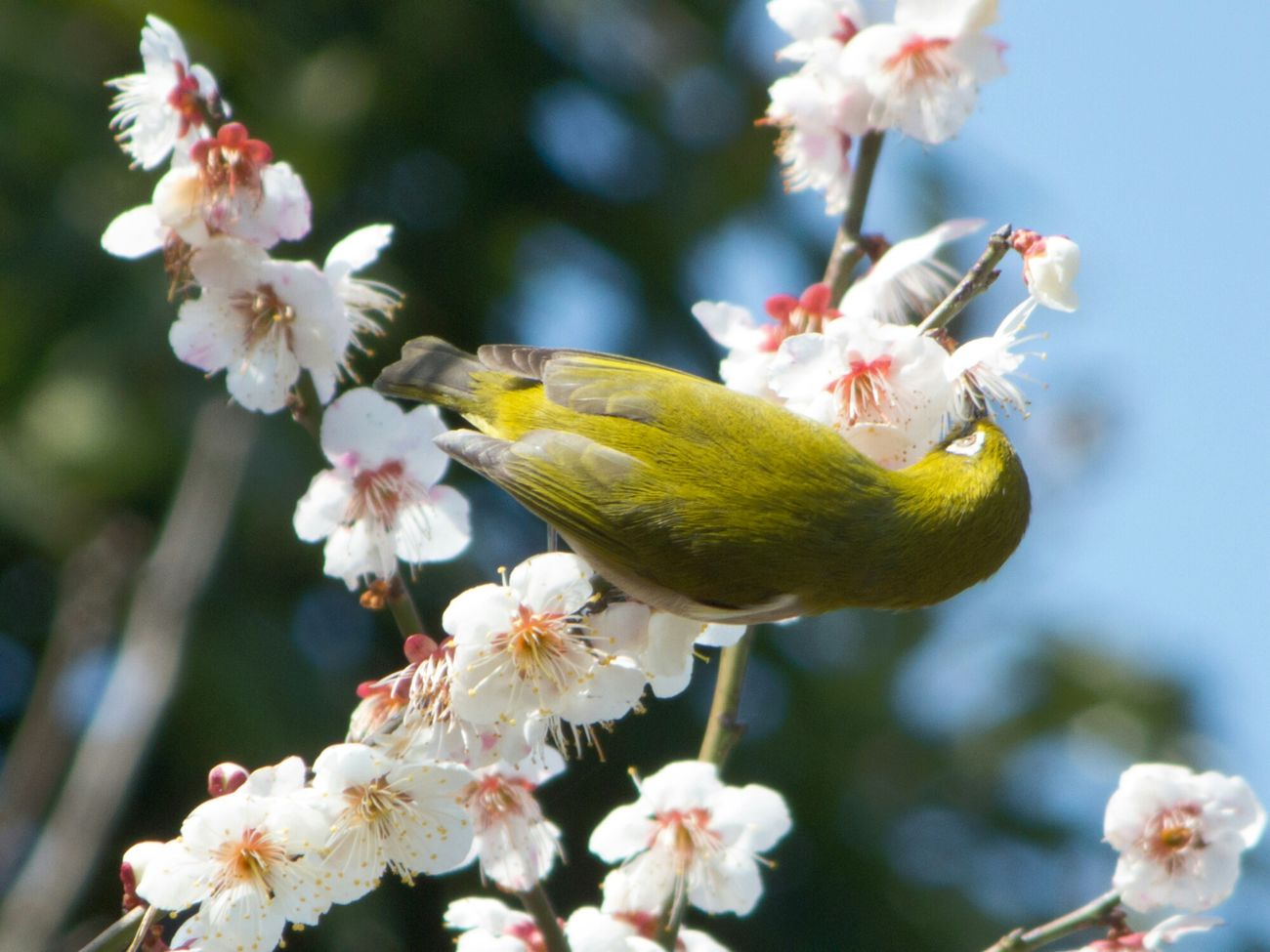 メジロ Birds Nature White-eyes メジロ Pentax Q10