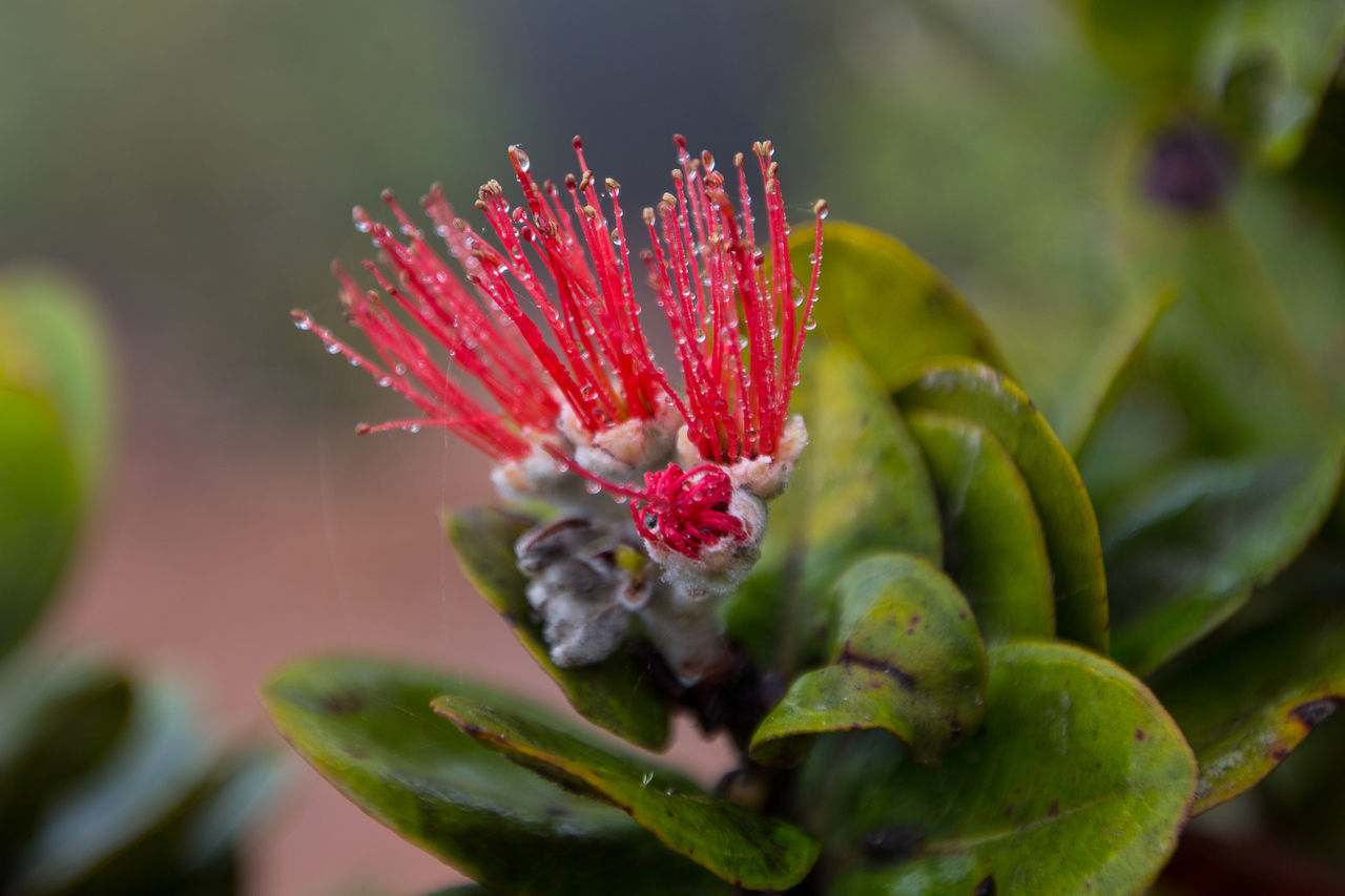 Beauty In Nature Bokeh Close-up Dew Drops Flower Flower Head Green Hawaii Lehua Flower Nature Ohi'a Lehu Outdoors Red