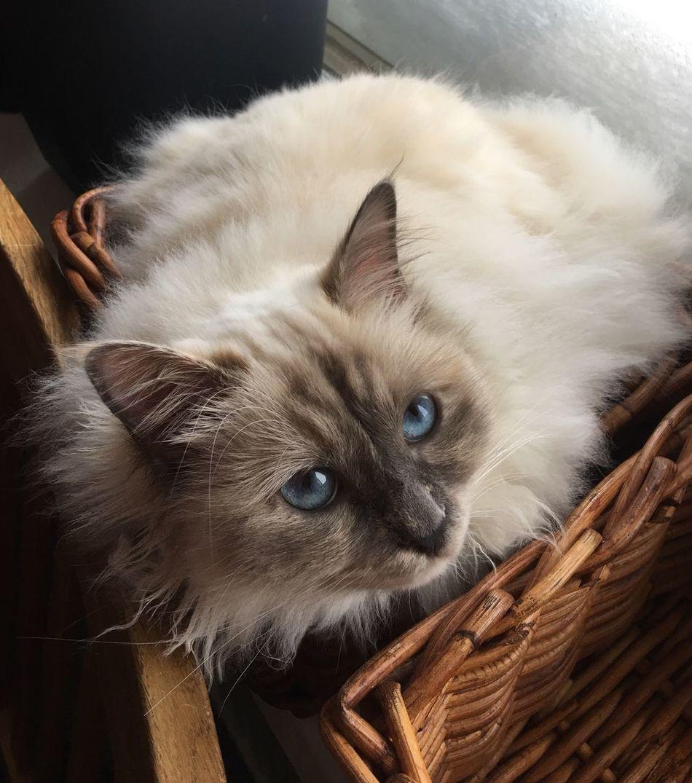 Birma Cat Window Cateyes Cats Cat♡ CatEyeEm Domestic Cat Blue Eyes