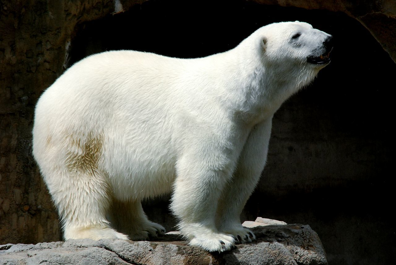 Beautiful stock photos of polar bear, Animal Themes, Animals In Captivity, Animals In The Wild, Bear