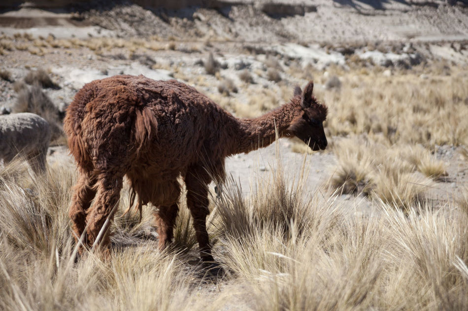 Beautiful stock photos of llama, Animals In The Wild, Bush, Day, Desert
