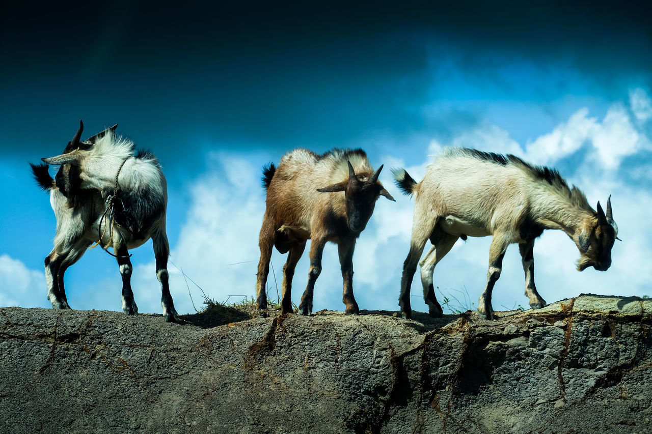Low Angle View Of Goat On Rock Against Sky