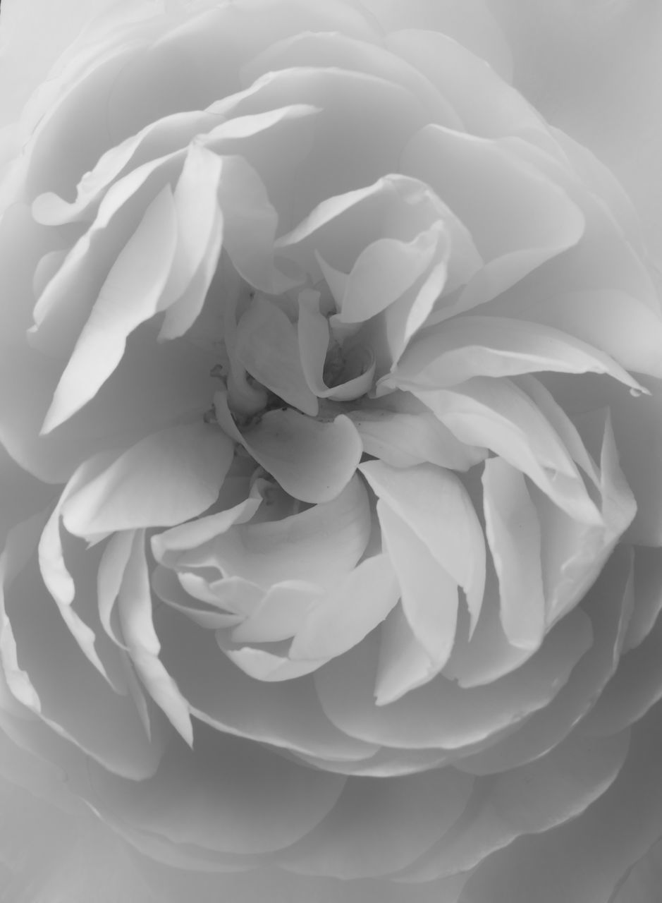 flower, petal, fragility, freshness, flower head, no people, nature, close-up, beauty in nature, studio shot, backgrounds, growth, day