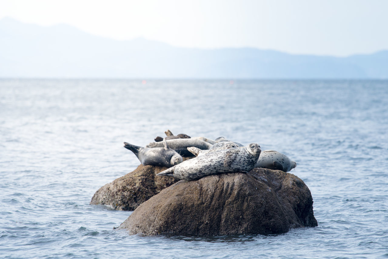 Harbour Seals on rocks Animals Animals In The Wild British Columbia Canada Coastal Rainforest Coastline Cute Day Great Bear Rainforest Harbour Seal Harbour Seals Large Group Of Animals Mountains Natural Habitat Negative Space No People Outdoors Room For Text Seals Water Wildlife Wildlife & Nature Wildlife Photography