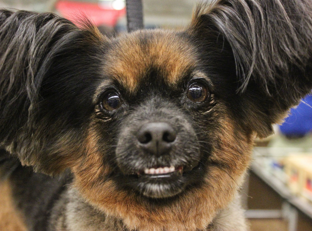 Harley Quinn Animal Themes Close-up Day Dog Domestic Animals Focus On Foreground Indoors  Looking At Camera Mammal No People One Animal Papillon Mix Pets Portrait