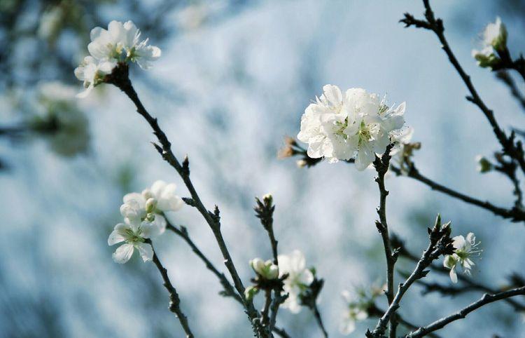 Flowers Flowers In Bloom Plum Flower Chaing Mai Thailand