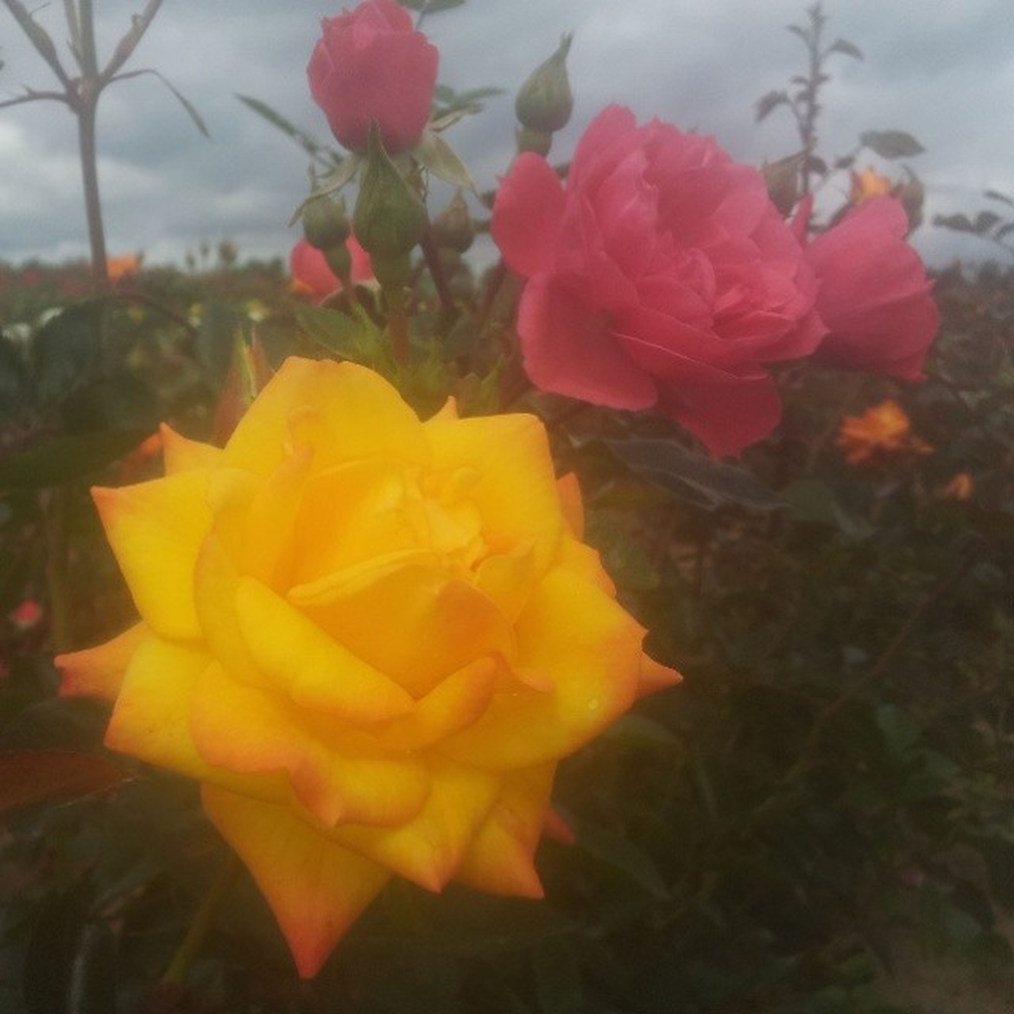 flower, petal, fragility, freshness, flower head, beauty in nature, growth, blooming, focus on foreground, close-up, rose - flower, plant, nature, in bloom, yellow, blossom, single flower, leaf, park - man made space, day