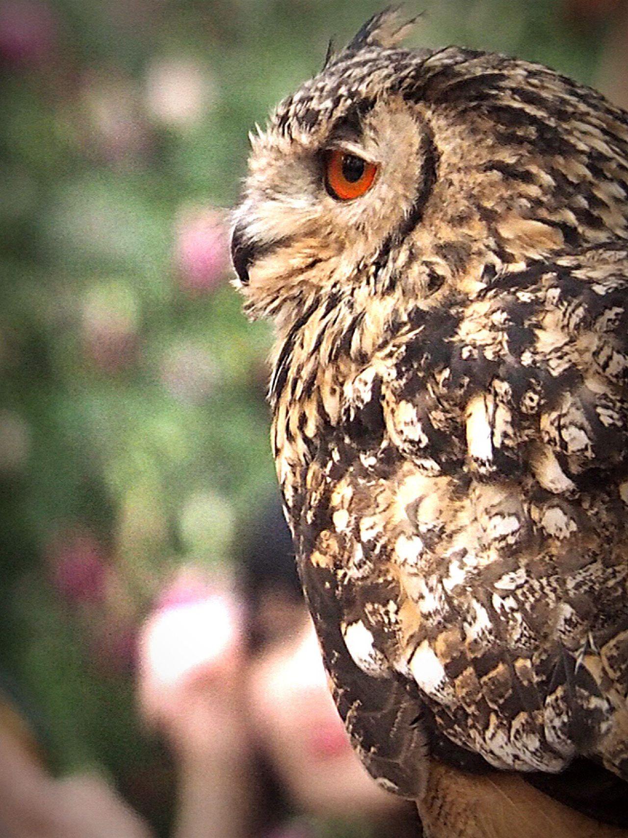 🦉💤この子も寝不足…😪💦 One Animal Bird Animals In The Wild Animal Themes Animal Wildlife Focus On Foreground Close-up Animal Body Part Bird Of Prey Animal Eye Owl Owl Eyes お昼食べたら、ネムネム…😪💨💨