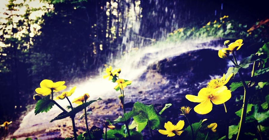 Landscape Flower Yellow Plant Nature Fragility Freshness Outdoors Beauty In Nature Sunlight Water Blooming Leaf Waterfall