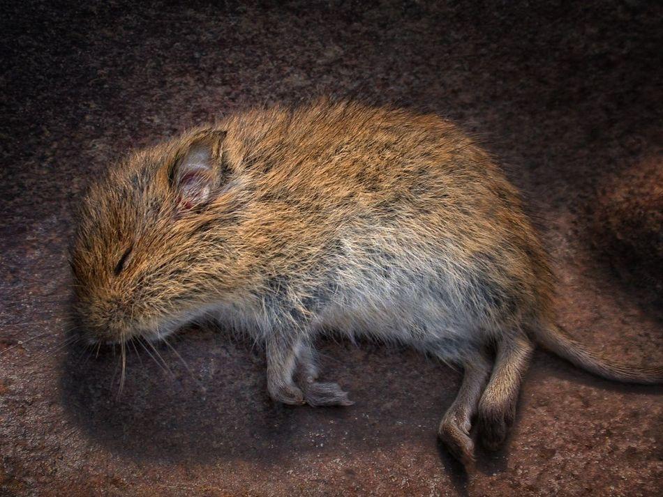 Dead Death Mouse Corpse