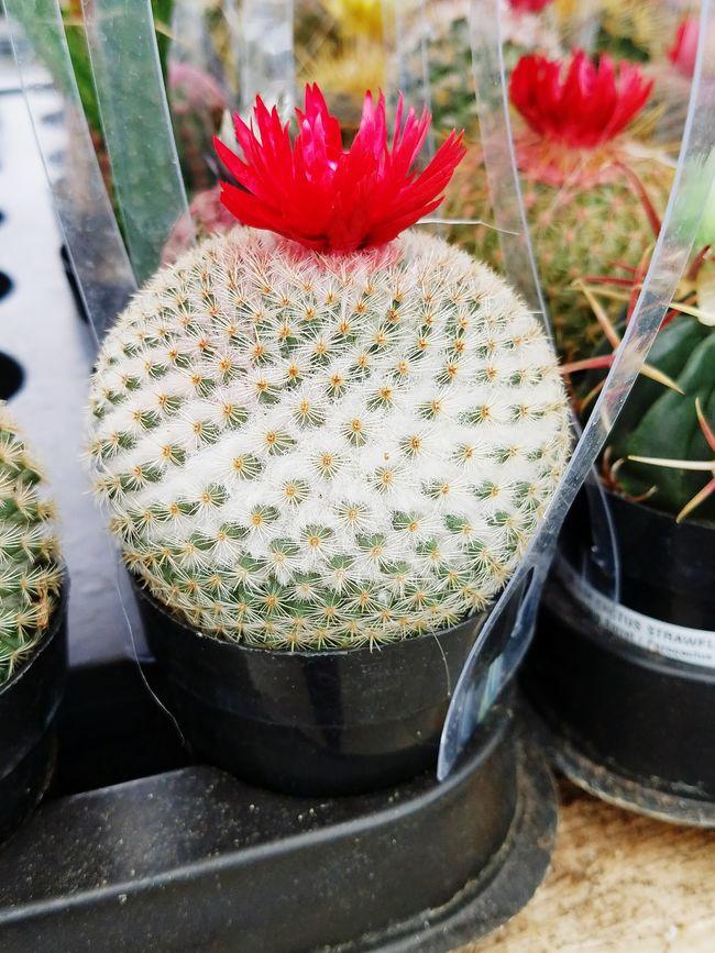 Plump Cactus! Cactus Decoration Succulent Sharp Ujustgotkaied Nature Plant
