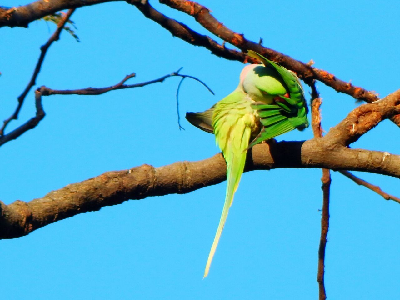 low angle view, branch, tree, perching, blue, animal themes, animals in the wild, day, bird, clear sky, no people, outdoors, nature, beauty in nature, animal wildlife, bare tree, parrot, sky, close-up