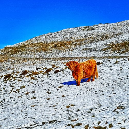 Farm Farming Highland Cow Agriculture Winter Snow Cow Animal Themes Animals In The Wild Spotted Animal Animal Wildlife Mammal Safari Animals Day Outdoors Sky