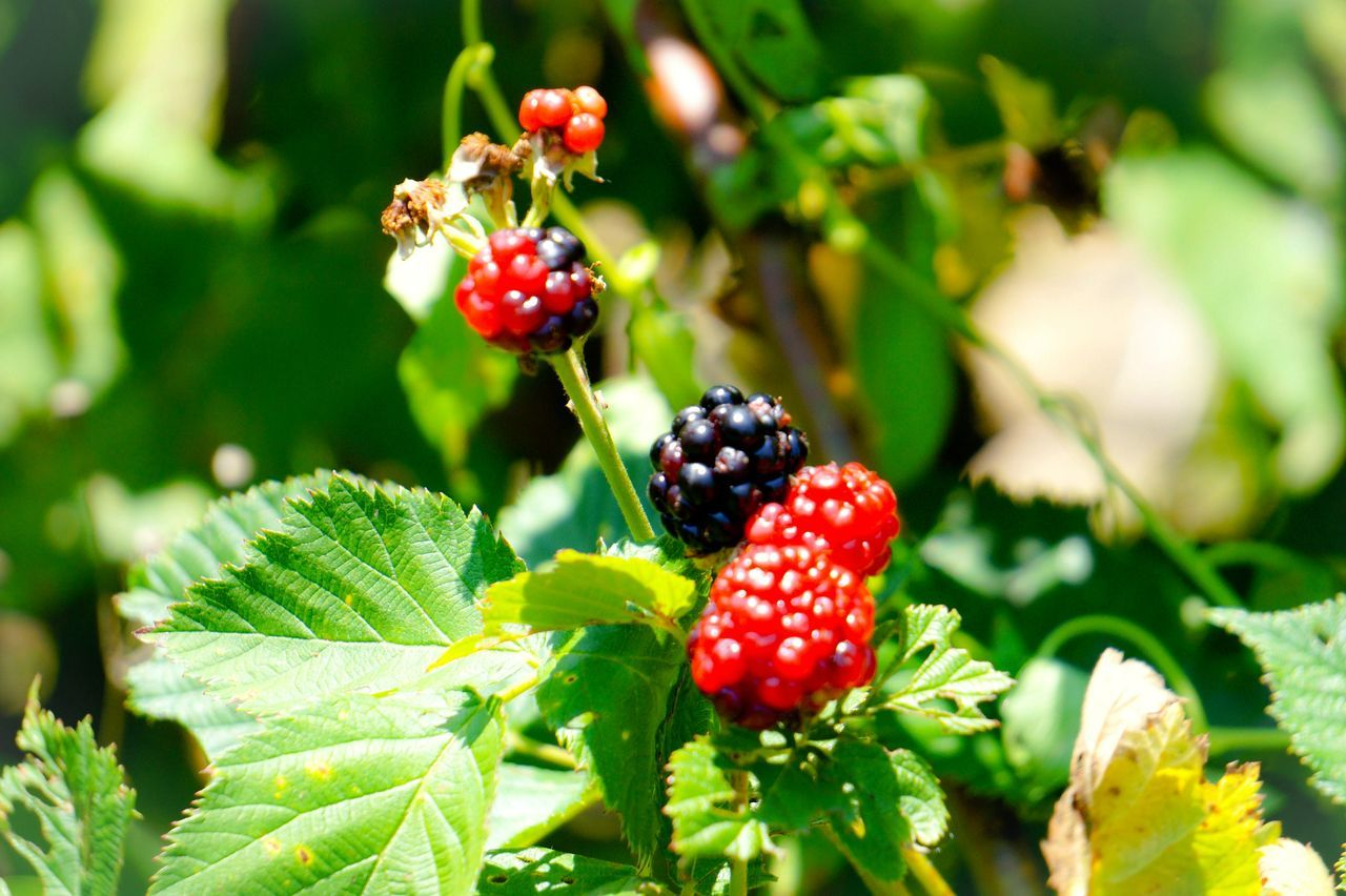 fruit, red, berry fruit, leaf, growth, freshness, food and drink, green color, focus on foreground, close-up, healthy eating, raspberry, food, outdoors, day, no people, nature, beauty in nature, tree