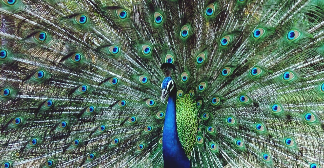 peacock, peacock feather, fanned out, feather, bird, animal wildlife, one animal, animals in the wild, animal themes, beauty, full frame, close-up, beauty in nature, outdoors, multi colored, no people, day, nature, vanity, spread wings