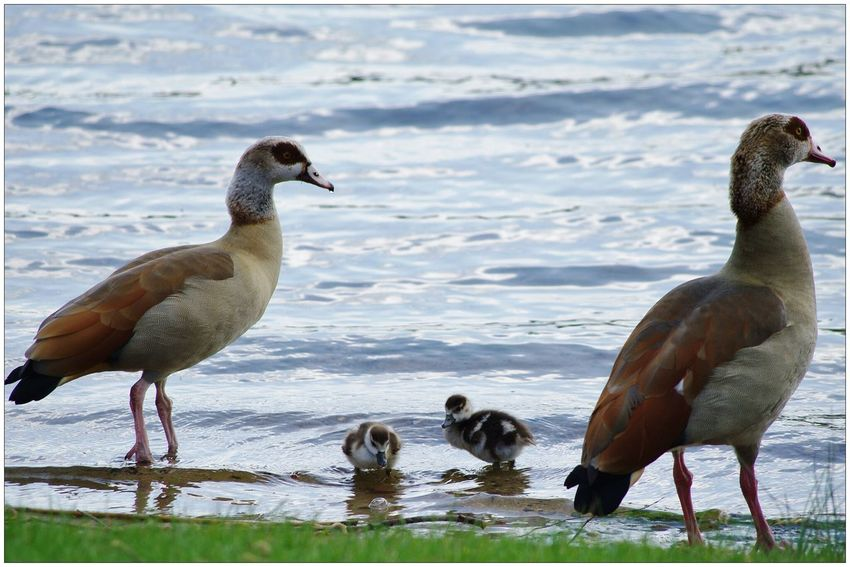 EyeEm Nature Lover Streamzoofamily For You ;-) Nilgans-Familie