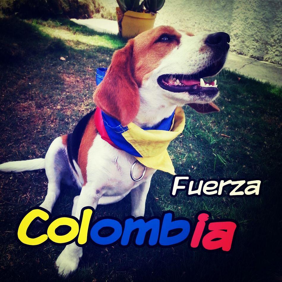 Beagles  My Love Apoyando A Colombia Colombia