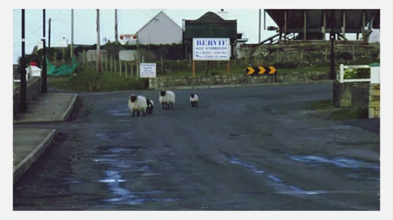 Don't mind us we are just passing Ireland Hiking Animals Sheeps