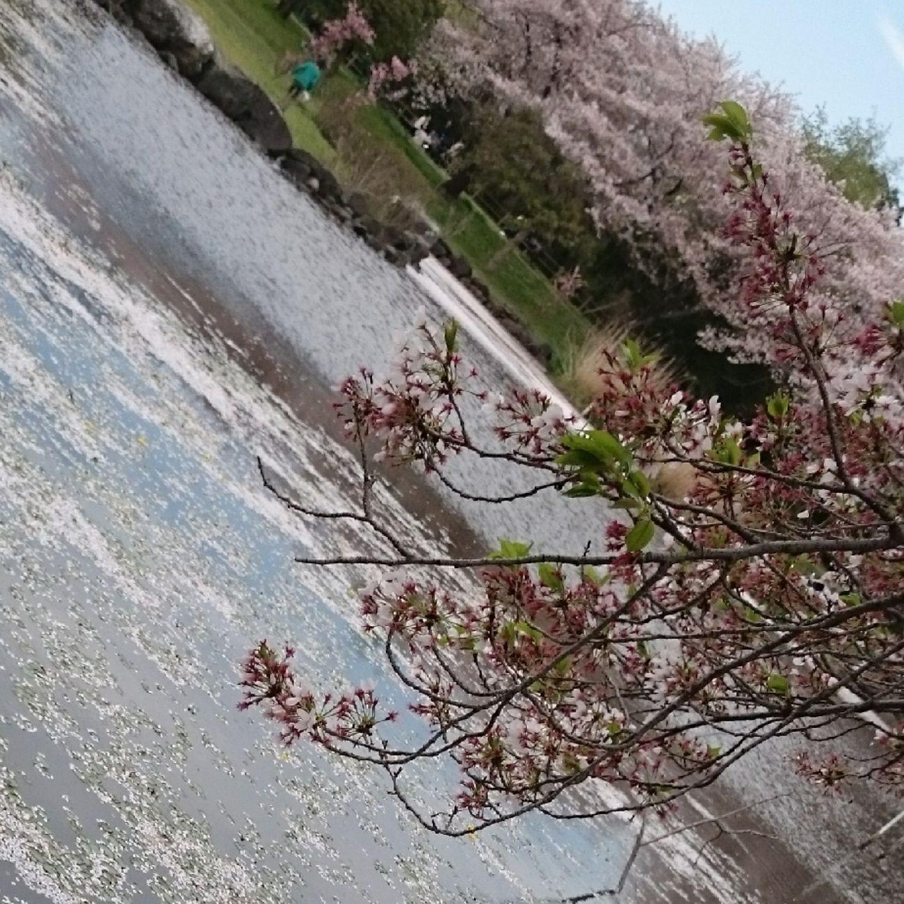 おはようございまーす 桜 ももう終わりかなー 今日 も 笑顔でいこーね サクラ 桜祭り 2016繋がろうみんなの桜 美里 Japanese Shrine