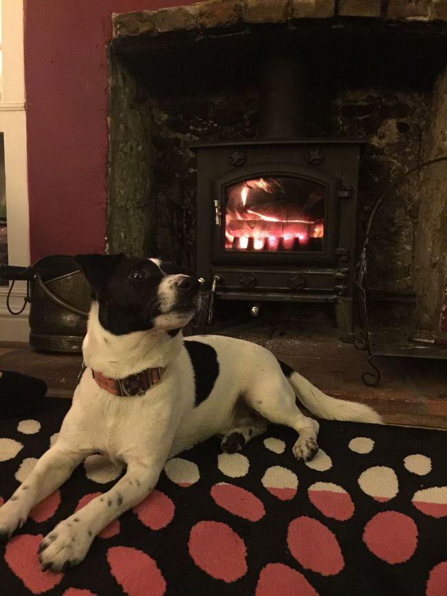 Relaxing Jackrussell Jack Russell Jack Russel Terrier Fire