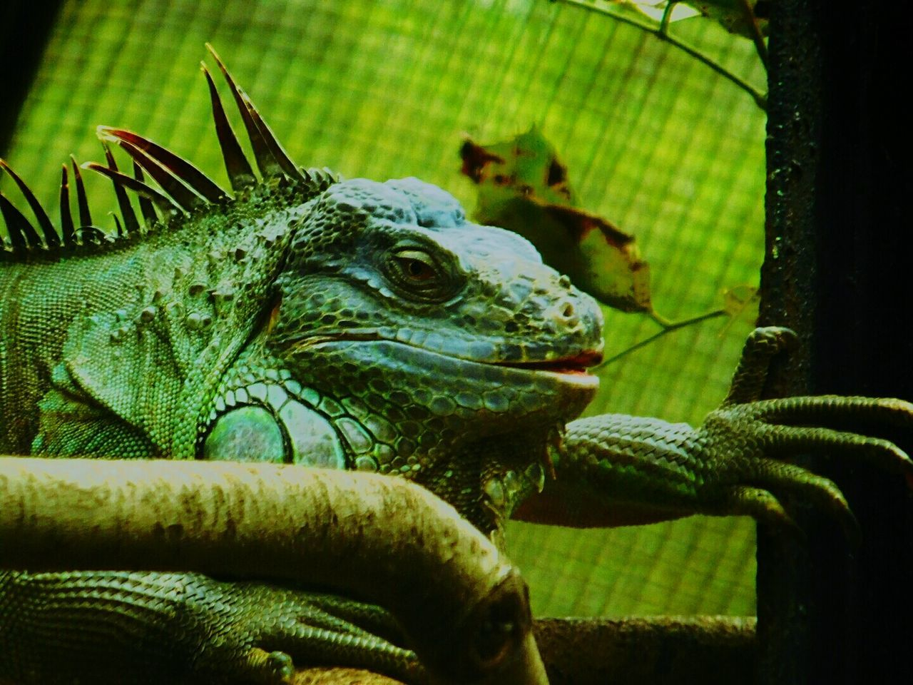 Reptile Close-up Looking For Freedom Sadness😢 Alone Looking At Camera Chameleon On A Tree Leaf Nature Resting Giant Chameleon One Animal Tree Chameleon Reptile Caged Nature Animal Wildlife Wildlife Photography