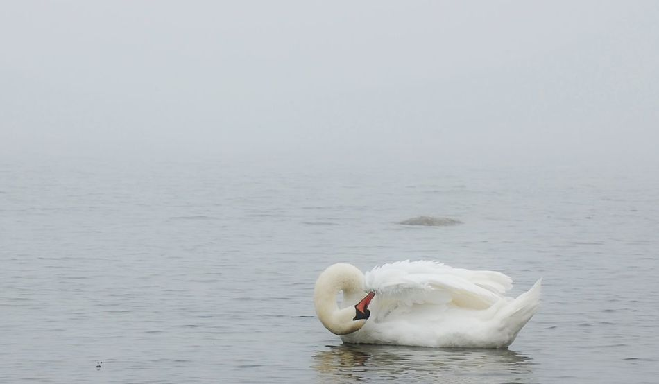 Swan Bird Animal Wildlife Animals In The Wild Outdoors Seascape Seaside Foggy Ocean One Animal Water Uniqe Wings Minimalistic Minimalist Photography  Minimallandscape