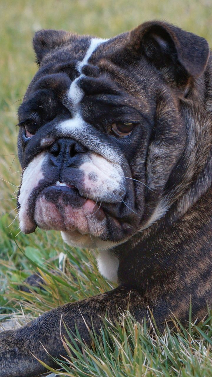 one animal, domestic animals, mammal, pets, animal themes, dog, no people, close-up, grass, focus on foreground, outdoors, english bulldog, day, nature
