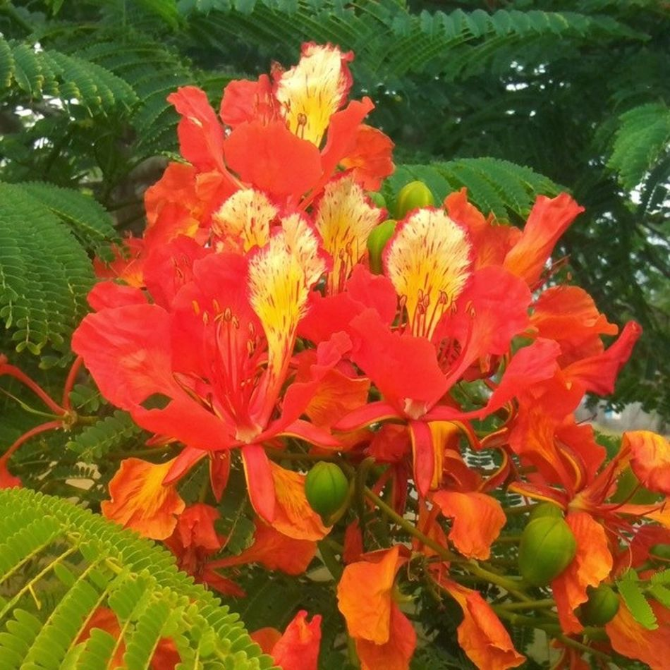 A fantastic flame tree Nature P510 Petes2506 Photography Tree Flower