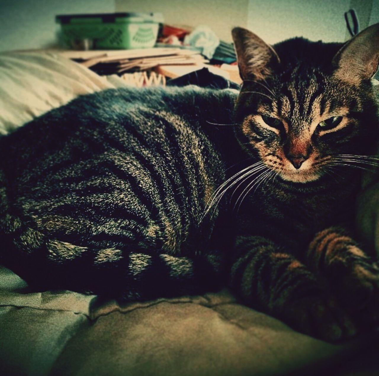 Cat Cats Kitty Kitty Cat Snugglebuddy Fuzzy Pets