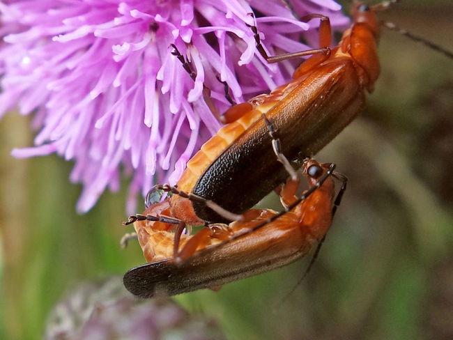 Rhagonycha Fulva copulation - Serchio River Animal Antenna Arthropod Arthropoda Beauty In Nature Close-up Coleoptera Copulating Copulation Hexapoda Insect Insecta Nature Outdoors Rhagonycha Fulva