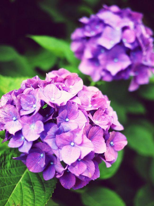 紫陽花 First Eyeem Photo