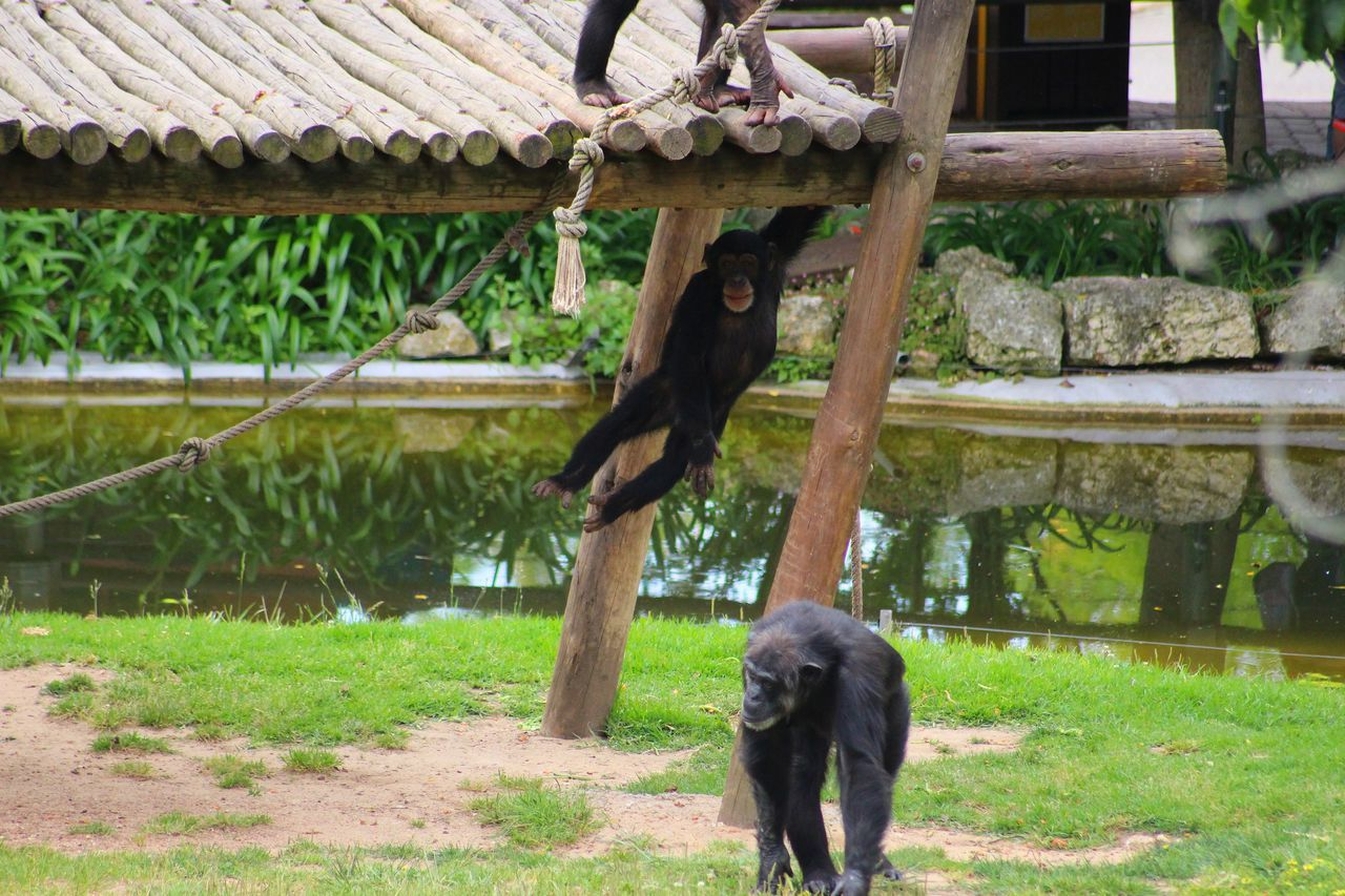 Beautiful stock photos of affe, Animal Themes, Animals In Captivity, Animals In The Wild, Ape
