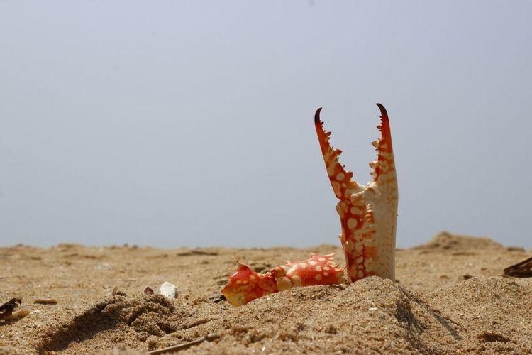 Battle Aftermath Crab Claw Beach Seacrab Marine Life Battle Food Chain Aftermath Crabshell