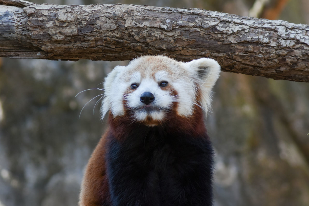 Say Cheese. One Animal Animal Wildlife Animal Themes Mammal Looking At Camera Portrait Nature Animal Hair Close-up No People Outdoors Day Smithsonian National Zoological Park Red Panda Animal Animals Zoo Close Up Cute Animals Nikon EyeEm Best Shots EyeEm Gallery