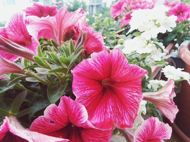 Flowers Pink Flower 🌸 EyeEm Nature Lover Frontal Shot Nature At Its Best Summer Summer Flowers