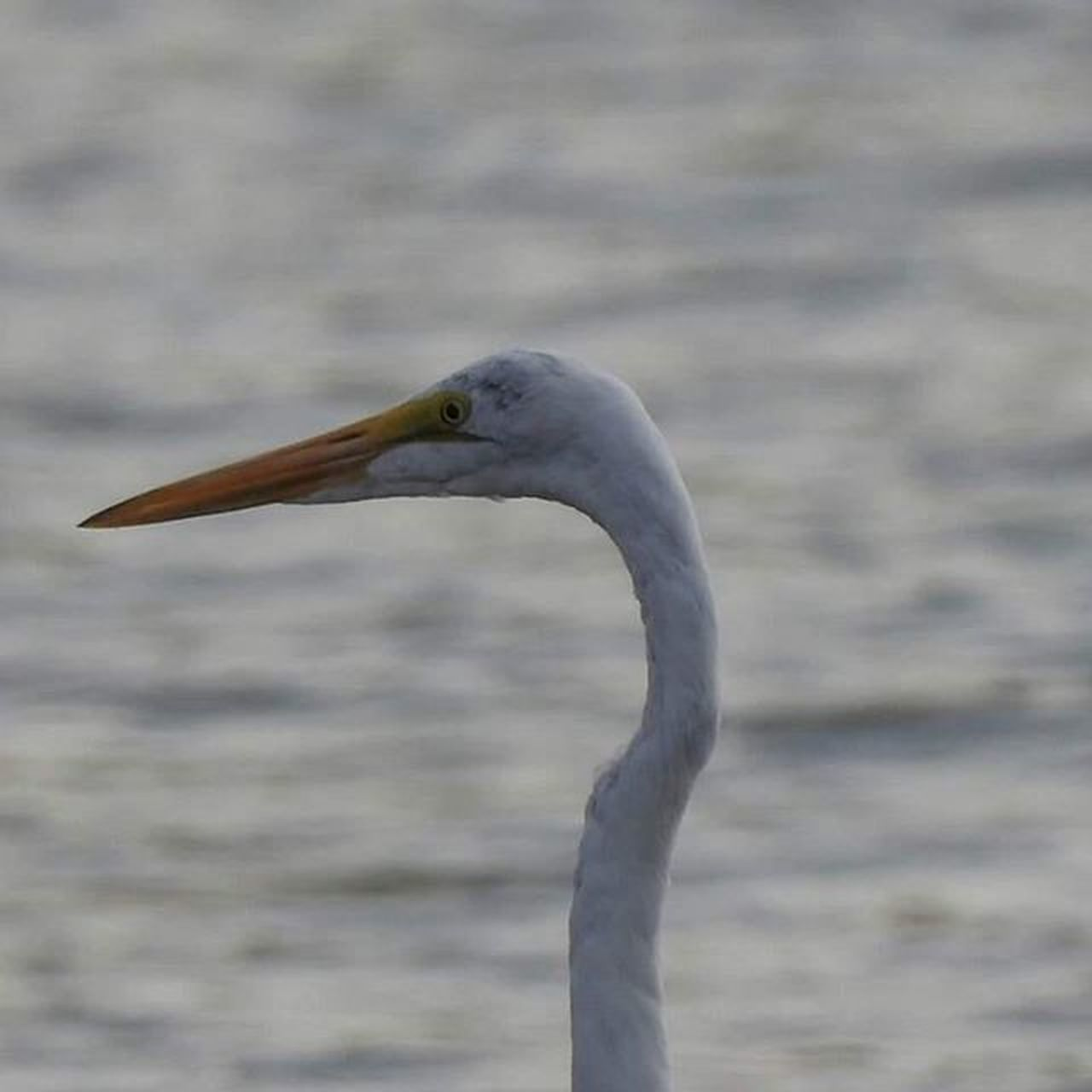 one animal, bird, animals in the wild, animal wildlife, animal themes, day, beak, heron, focus on foreground, nature, no people, outdoors, water, close-up, beauty in nature