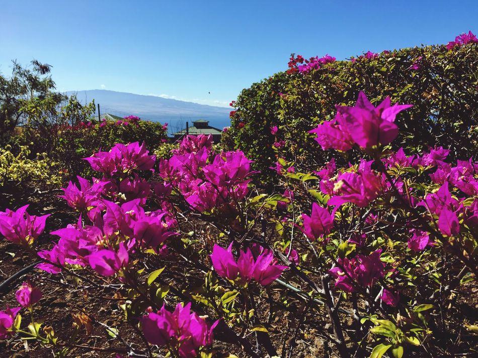 Hualalai Mount Hualalai Front Yard Lokelani Kohala Coast Kawaihae Big Island Hawaii Bouganvillea