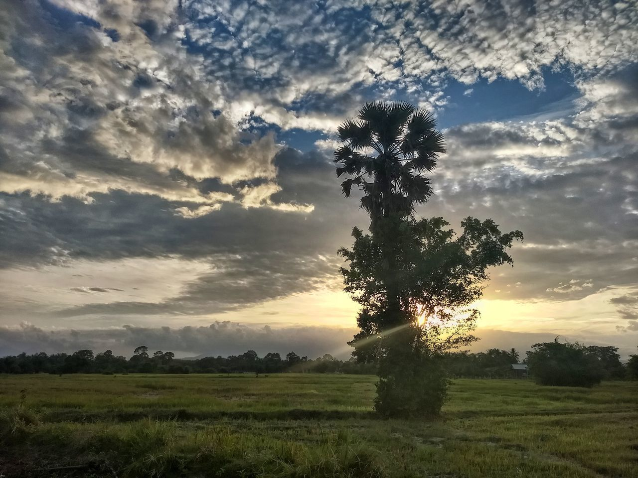 tree, field, nature, beauty in nature, tranquil scene, tranquility, sky, scenics, landscape, sunset, no people, cloud - sky, growth, agriculture, grass, outdoors, day