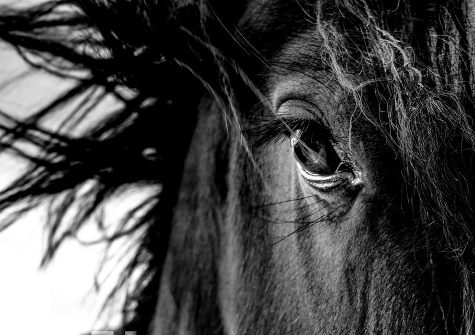 A thousand horse, the wild, the free... Lord Byron. Animal Eye Animal Hair Animal Portrait Beauty In Nature Black & White Black And White Blackandwhite Blackandwhite Photography Close-up Domestic Animals Herbivorous Horse Horse Photography  Horses Livestock Mammal Monochrome One Animal Outdoors Part Of Portrait Selective Focus Zoology Monochrome Photography Welcome To Black