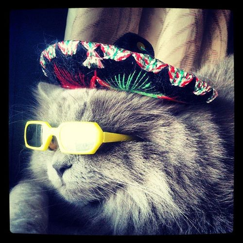 Justchilling CoolCat Catsdressedup Funnycat persian persiancat instakotik mexicansombrero sunglasses catsinthecity mexicancat ink361_mobile lovecats catsofinstagram