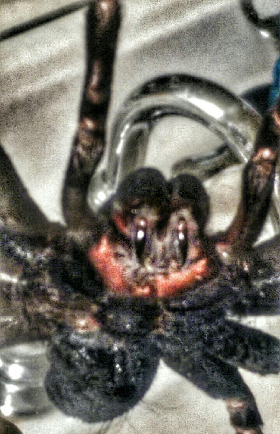 Attack Of The Macro Collection! Arachnipocalypse The Impurist EyeEm Animal Lover Tarantula Dead Things ArachnophobiaArachni-therapy https://youtu.be/VSnTkGqAT9M Happy Halloween