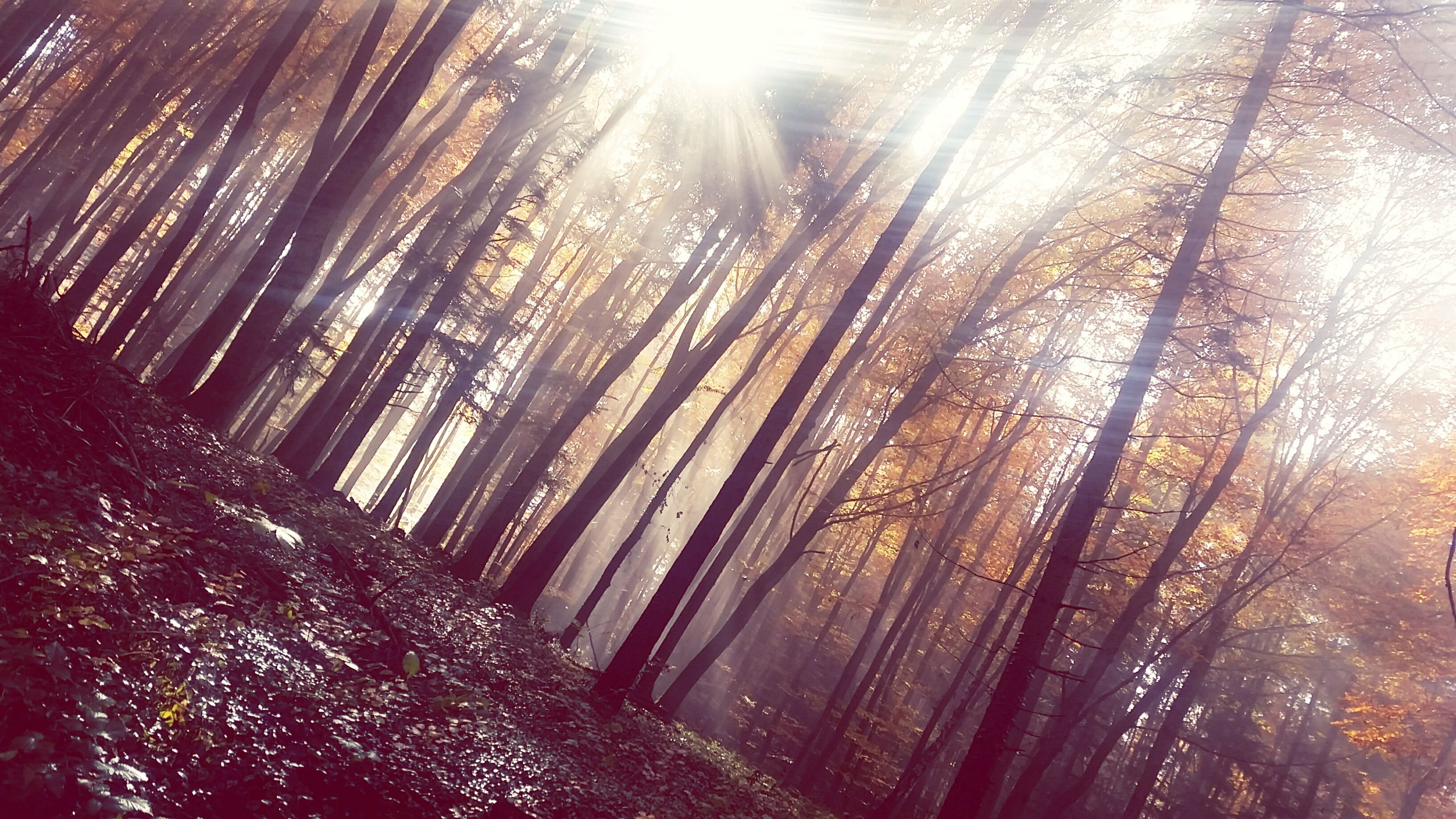 tree, sunbeam, lens flare, sunlight, sun, low angle view, nature, tranquility, forest, growth, sunny, tree trunk, outdoors, day, woodland, no people, beauty in nature, branch, bright, scenics