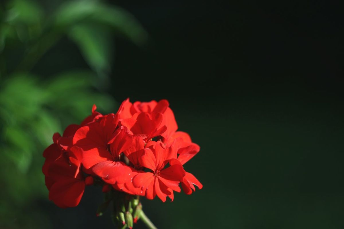 Flowers Flower Nature EyeEm Nature Lover Helios 44-2 Helios 44-2 58mm F2 44-2 Nofilter Noedit Red