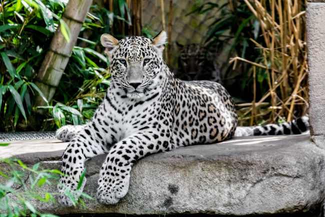 Animal Animal Themes Full Frame Leopard No People One Animal Persian Leopard Zoology