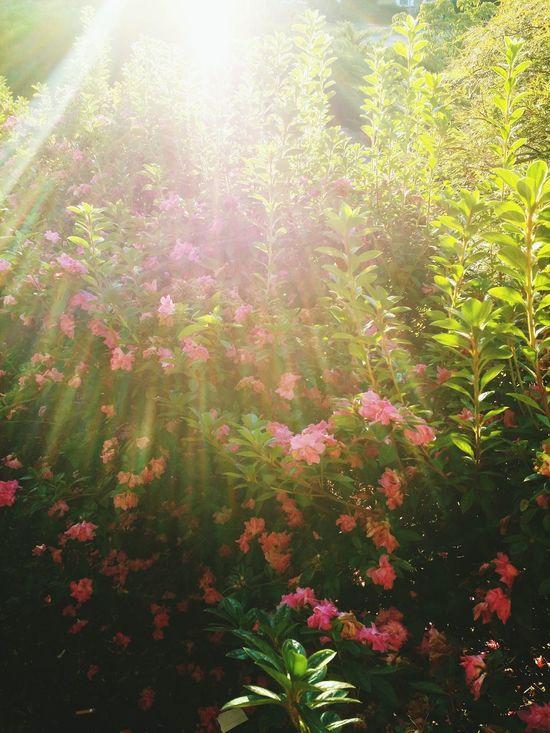 Sunbeam Sunlight Flower Tree Freshness Pink Flower 🌸 FuschiaPinkFlowers Pink Color Flower Collection Spectacular