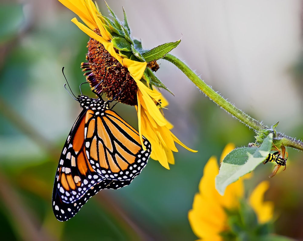 Monarch Butterfly Monarch Butterfly Butterfly ❤ Butterfly Collection Flower & Butterfly Macro Macro Beauty Butterflies Butterflyporn Butterfly Macro Butterfly Encounter Butterfly Garden Monarchbutterfly Sunflower Sunflower, Blossoms, Flower, Bloom Sunflowers🌻 Monarch Butterfly On Flower. Monarch Butterflies Butterfly Effect Butterflys The OO Mission Macro Insects The Great Outdoors - 2016 EyeEm Awards Fine Art Photography