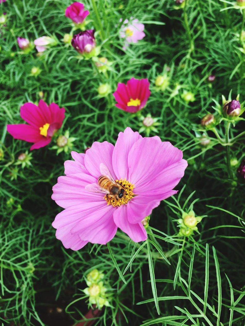 Flower Petal Pink Color Growth One Animal Fragility Nature Animal Themes High Angle View Flower Head Plant Insect Beauty In Nature No People Freshness Animals In The Wild Outdoors Cosmos Flower Pollen Day