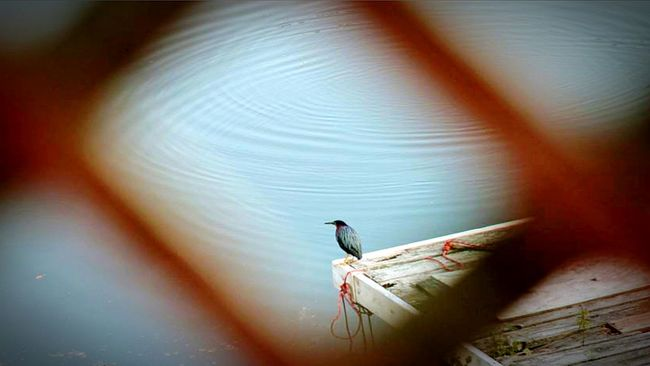 Naturally Framed through use of my Lattice.... Taking Photos Lakelife Waterscape Photography My Photography Lakescape Natural Pattern Nature Lover Bird Photography Birds Of EyeEm  Birds No Effects Frame In Frame Framework Frame It Lake Life Lakeside