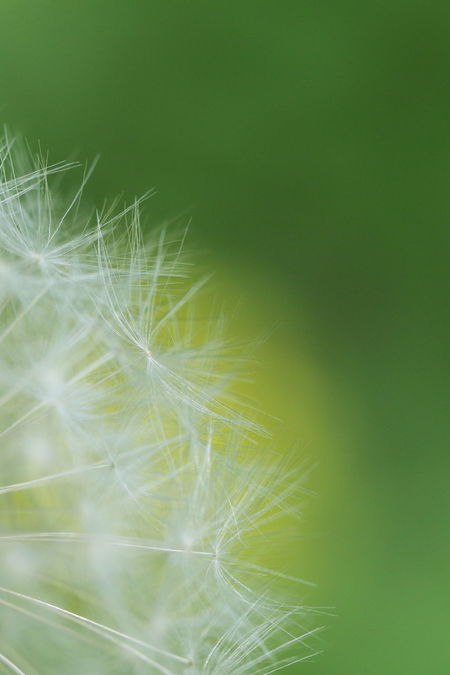 Fluff Of A Dandelion Close-up Nature Green Color Beauty In Nature EyeEm Nature Lover EyeEm Best Shots From My Point Of View