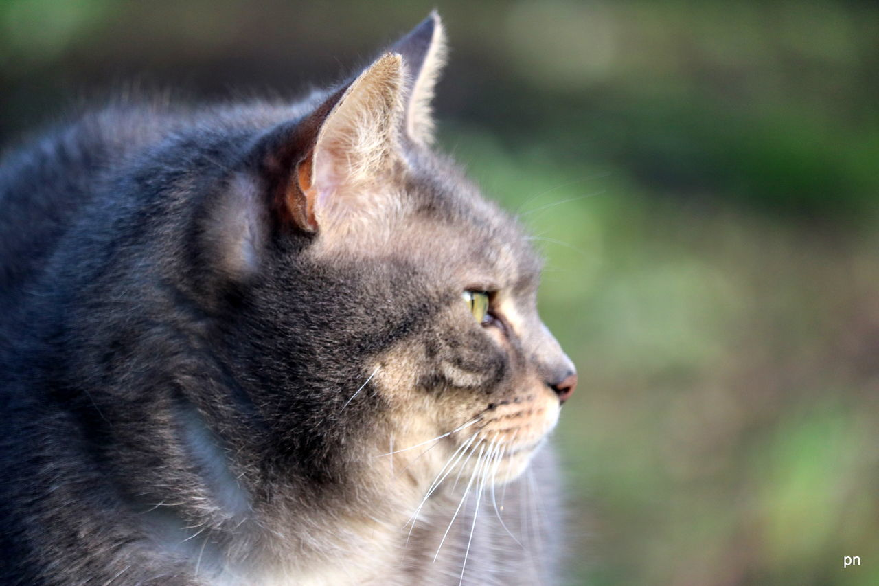 one animal, domestic cat, animal themes, domestic animals, pets, feline, mammal, focus on foreground, no people, whisker, close-up, outdoors, day, nature